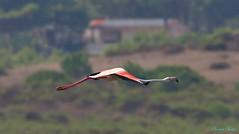 Fenicottero - Flamingo  (Phoenicopterus roseus) (Michele Fadda (Shots in Time)) Tags: canoneos70d sigma150600mmf563dgoshsm|contemporary015 sigma150600c sardinia sardegna italy flamingo fenicottero phoenicopterusroseus avifauna free nature natura faunaprotetta volatile volo flight bird uccello inliberta stagnodipilo photoscape