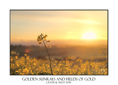 Sunrise Golden Canola (sugarbellaleah) Tags: canola flower spring springtime yellow golden pretty sunshine sunlight morning plant field farm farming crops produce grain flora agriculture growing rural farmland countryside country outdoors australia