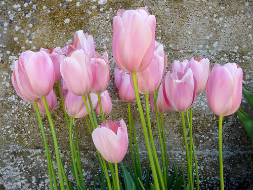 Tulips Against Stone