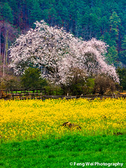 Wild Peach Tree @ Bome, Tibet (Feng Wei Photography) Tags: china travel wild vacation flower color colour tourism nature floral beautiful beauty vertical rural season landscape countryside spring scenery colorful asia tour view outdoor vibrant seasonal scenic vivid peaceful tranquility tibet serenity vista serene tranquil peachtree bome rapeseed peachflower rapeseedflower gettychinaq2