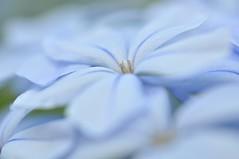 In The Sea Of Blues........ (Anna Kwa) Tags: flowers blue macro art singapore capeleadwort thegalaxy plumbagoauriculata hortpark