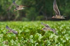 Volando (el pequeo ojo) Tags: venezuela selva delta jungle ecoturismo orinoco fotografa fotoarte deltaorinoco fotosalairelibre arianuchis ariannaarteagaquintero destinosfotoarte