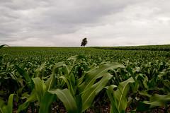 2.958 - Milharal (Ricardo Cosmo) Tags: brazil tree verde green paran brasil corn cloudy rbol lonely nublado olympuspen rvore sola milho milharal solitria ura br369 cornplantation mzuikodigital