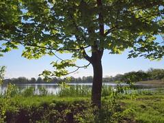 érable plane au printemps face à l'étang - Acer platanoides - norway maple in front of the pond in spring (dombes et ailleurs) Tags: spring pond printemps etang acerplatanoides dombes norwaymaple erableplane erableplatane