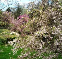 Spring Tapestry in O'fallon MO (Carolynmue) Tags: spring mo ofallon floweringtrees plantsandfungi