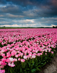 As Hollandish It Can Get (Jurjen Harmsma Photography) Tags: pink flowers sunset summer sky holland nature netherlands lines clouds photography landscapes spring day colours tulips cloudy air may vivid typical friesland 2012 airscapes hollandish