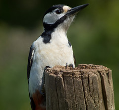 DSCF6585 Great spotted woodpecker (Steve_Herring) Tags: nature birds wildlife greatspottedwoodpecker thewonderfulworldofbirds fujifilmhs10 fujifilmfinepixhs10 highqualityanimals steveherringphotography