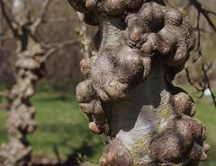 Alnus incana f. gibberosa (zxc6789) Tags: tree spring trunk puu kevt pahka runko speckledalder lepp lept koristepuu muhkuralepp