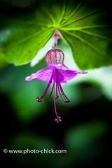 Effortless perfection (she_dances) Tags: flowers flower macro fleur closeup fleurs geranium allrightsreserved hbw wwwphotochickcom