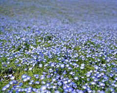 Nemophila hill #3 (nipomen2) Tags: park japan seaside asahi pentax  6x7 portra 67 hitachi ibaraki 160 nemophila hitachinaka