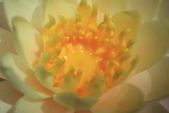 Macro Nymphea (Carine.C) Tags: macro water canon raw waterlily yellowflower nénuphar bassin lilyleaf nymphea tonneau noretouch eos450d canonefs1855mmf3556is latourmarliac kenkoautomaticextensiontubesetdg bassinentonneau