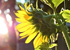 Sunrise on  a Summer Morning (Elizabeth Budd) Tags: flower bloom blossom sunflower sun sunlight sunflare flare yellow bright color texas summer canon elizabethbudd