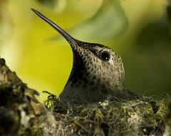 Hum Momma (Aaron Licht) Tags: light summer tree green bird eye closeup cozy backyard hummingbird bc nest background beak victoria vancouverisland reflector appletree annashummingbird