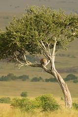 Leopard in a Tree (Greg McMullin) Tags: africa travel elephant game kenya reserve safari leopard elephants masaimara gamedrive kenyawildlifeservice masaimaragamereserve marasarovalodge kenya2012