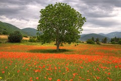 Poppy Tree 2 (marcovdz) Tags: flowers france tree field fleurs poppies provence arbre hdr champ coquelicots 3xp banon