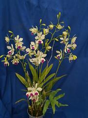 Catyclia El Hatillo 'Pinta' (jonlindstrom) Tags: orchid hybrid epicattleya intergeneric catyclia elhatillopinta