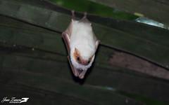 Diclidurus albus (Ghost Bat)