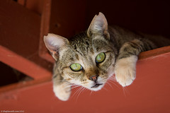 Lanai-cat-sanctuary-250.jpg (ThePlanetD Travel Blog) Tags: usa hawaii lanai catsanctuary