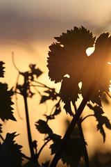 Summertime... (NUMERIK33) Tags: summer sun soleil t soir vigne contrejour feuille