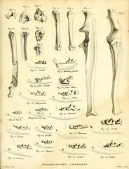 n552_w1150 (BioDivLibrary) Tags: france paleontology geology smithsonianinstitutionlibraries parisregion mammalsfossil vertebratesfossil bhl:page=40078696 dc:identifier=httpbiodiversitylibraryorgpage40078696 fossilstories