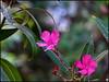 Give me a few good blossoms... (Mike Goldberg) Tags: flowers bush jerusalem neighborhood oleander mikegoldberg panasonicfz35