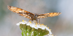 (caroline_1985) Tags: flowers flower nature butterfly insect natuur heath bloemen eten fouraging fritillary vlinder bloem athalia fourage melitaea bosparelmoervlinder fourageren