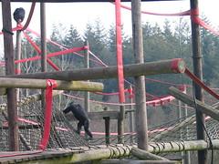 MONKEYWORLD  DORSET             IMG_4775 (LesD's pics) Tags: dorset monkeyworld monkeysanctuary jimcronin rescuedmonkeys
