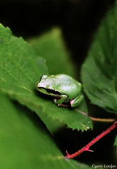 Pacific Tree Frog (Casey Louise Photography) Tags: amphibian frog treefrog greenfrog herpetology pacifictreefrog oregonwildlife d90 nikond90 oregonfrog