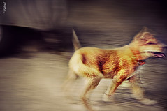 Naughty Dog (Behzad No) Tags: dog animal naughty iran nikond90 behzadno aminus3com