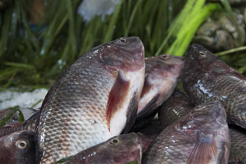 Farmed Nile Tilapia in a fish market, Cairo, Egypt. Photo by Samuel Stacey, 2012.