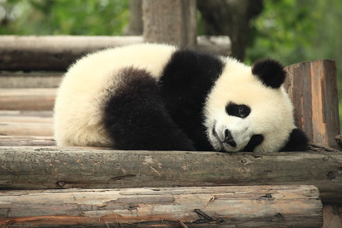 Panda by George Lu, on Flickr