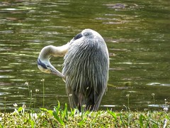Heron Cleaning (Climate_Stillz) Tags: heron greatgreyheron sharp beak feathers wet cleaning animal nature wildlife lake green waterripples sunnyday summer hot park regentspark tz60