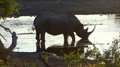 Black Rhino and Reflection at Watering Hole at Dusk, Etosha National Park, Namibia (dannymfoster) Tags: africa namibia etosha nationalpark etoshanationalpark animal rhino blackrhino dusk