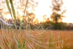 (philippe baumgart) Tags: alsace herbsheim matin morning spider toiledaraigne web ried