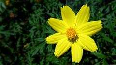 GammaR045 (pieterww (cybershot)) Tags: pieterww pieterwalkman coinoboro sony cybershot jakarta indonesia tmii macro flower