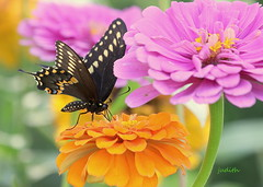 let's wile away an hour in the flowers -- EXPLORED (judecat (relaxing by the sea)) Tags: nature wildlife newjerseywildlife herefordinletlighthousegarden wildwood newjersey butterfly blackswallowtailbutterfly