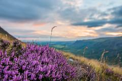 Heather on Illgill Head (tenohfive^) Tags: heather illgillhead wastwater tokina1116mm sunset lakedistrict