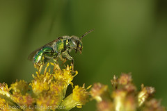 Sitting pretty (dbifulco) Tags: darkmoonpreserve extensiontube flower goldenrod insects metallicsweatbee nature newjersey nikkor105f28 wildlife yellow