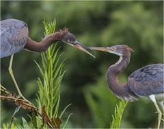 Dueling 2 (billkominsky ) Tags: naturethroughthelens specanimalphotooftheday