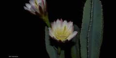 ER 160901 (15) (Paolo Bonassin) Tags: flowers cactaceae cactacee cactus succulente cereus cereusperuvianus