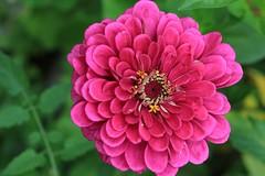 Full bloom (S__Tang) Tags: macro closeup flower fullbloom