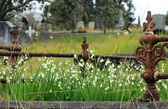 Snowflakes (Discover Waikumete Cemetery) Tags: waikumetecemetery grave snowdrops snowflakes