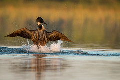Splashdance! (NicoleW0000) Tags: common loon great northern diver bird watching splash ontario canada golden hour morning light action wings