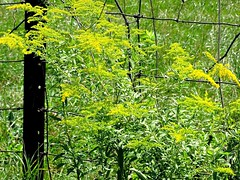 along the road- the brilliant yellow of Golden Rod. (Lana Pahl / Country Star Images) Tags: petalsandfrost happyfencefriday aphotographer catchycolors