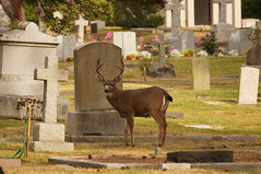 What? (Tjflex2) Tags: deer rossbaycemetery victoria bc wildlife graves tombstones