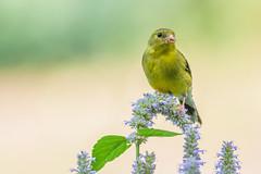 Late Summer Goldfinch (PhillymanPete) Tags: summer wildlife nature bird americangoldfinch goldfinch blue flower palmyra newjersey unitedstates us palmyracovenaturepark
