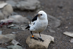 Snow Bunting at Adventdelta S24A9399 (grebberg) Tags: adventdelta longyearbyen svalbard july 2016 bird spitsbergen snowbunting pletrophenaxnivalis plectrophenax bunting