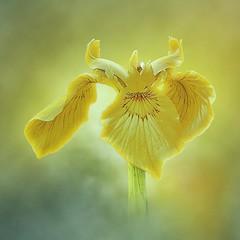 Iris pseudacorus (Belements) Tags: hmm macromondays macro thefirtsletterofmyname irispseudacorus geellis flower bloem nature natuur canon wow