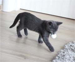 IMG_2513 (murkla_la) Tags: cat russianblue moussie gray graycat