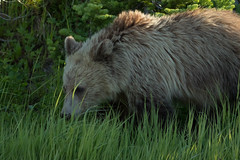 Grizzly Cub Sniffing Around (ken.krach (kjkmep)) Tags: grizzlybear yellowstonenationalpark